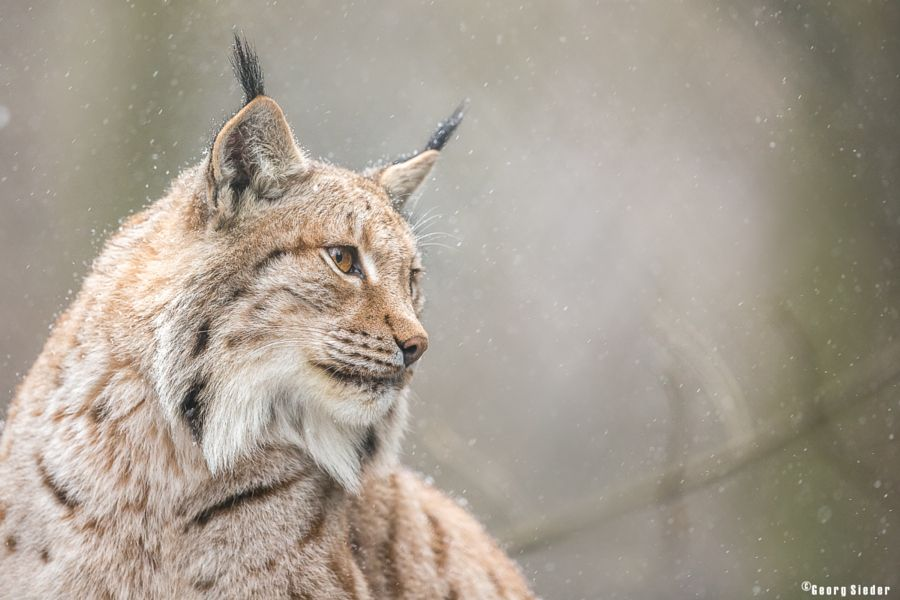 Lynx in snow by Georg Sieder - Photo 143182215 - 500px