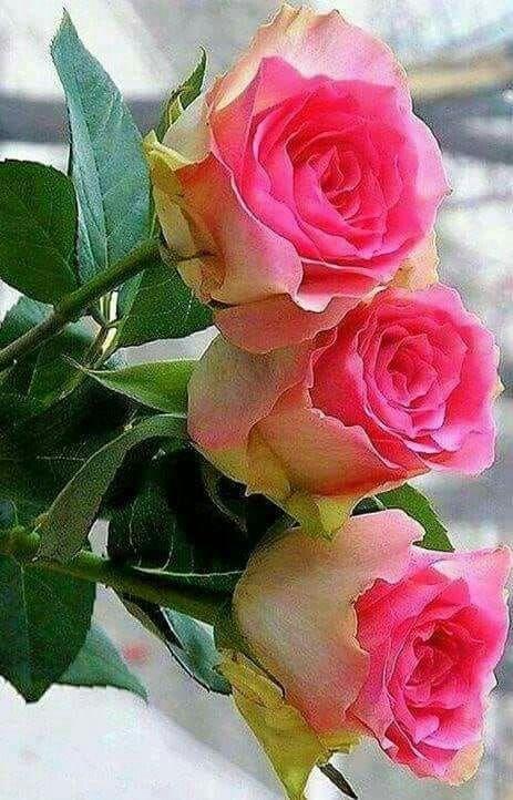 Pin On Mis Rosas