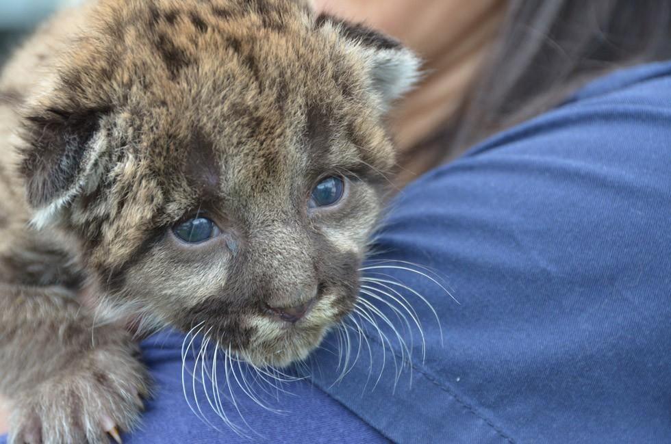 Panther Kitten Florida Panther Kitten Rescue Kittens Cutest