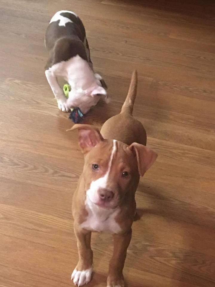 American Pit Bull Terrier Dog For Adoption In Harriman Tn Adn