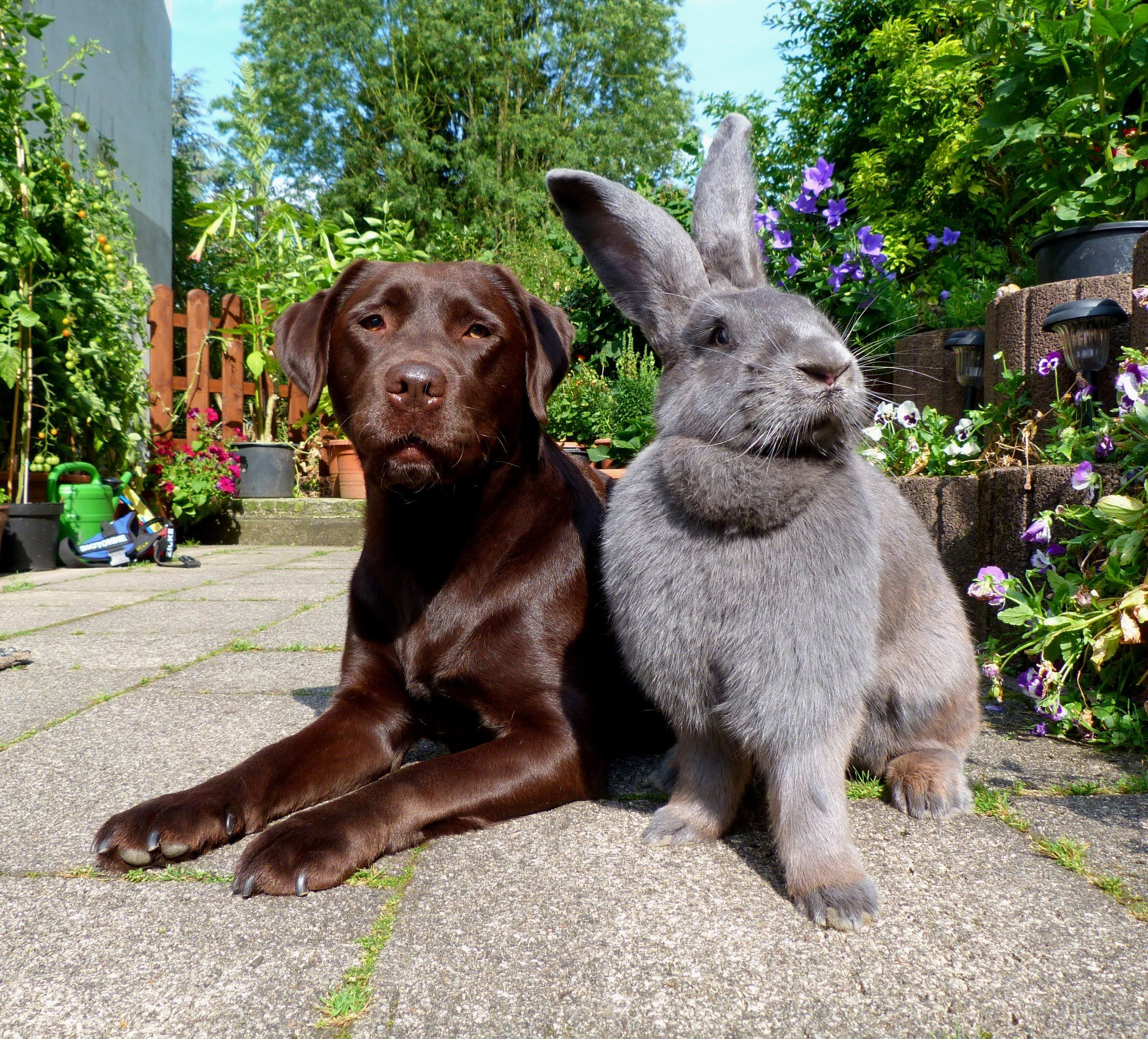 Pin by Faith Elliott on Bunnies Giant rabbit, Flemish