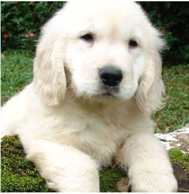 I Ust To Have A Baby Golden Retriever Now She S All Grown Up