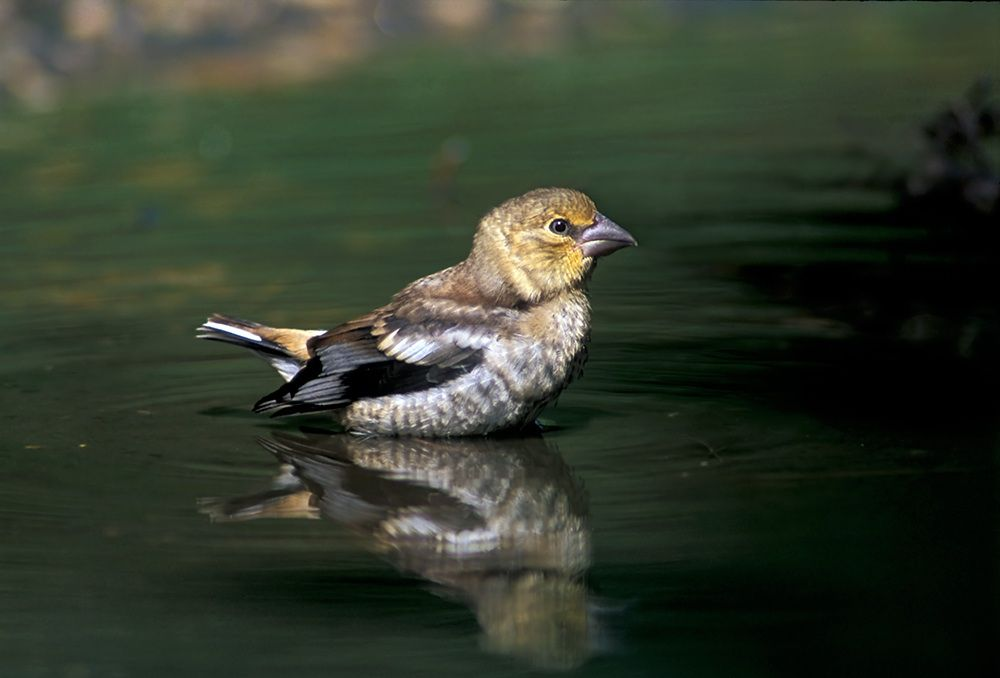 Hawfinch juvenile bathing in a farm puddle taken by Terry Button. Kent, UK