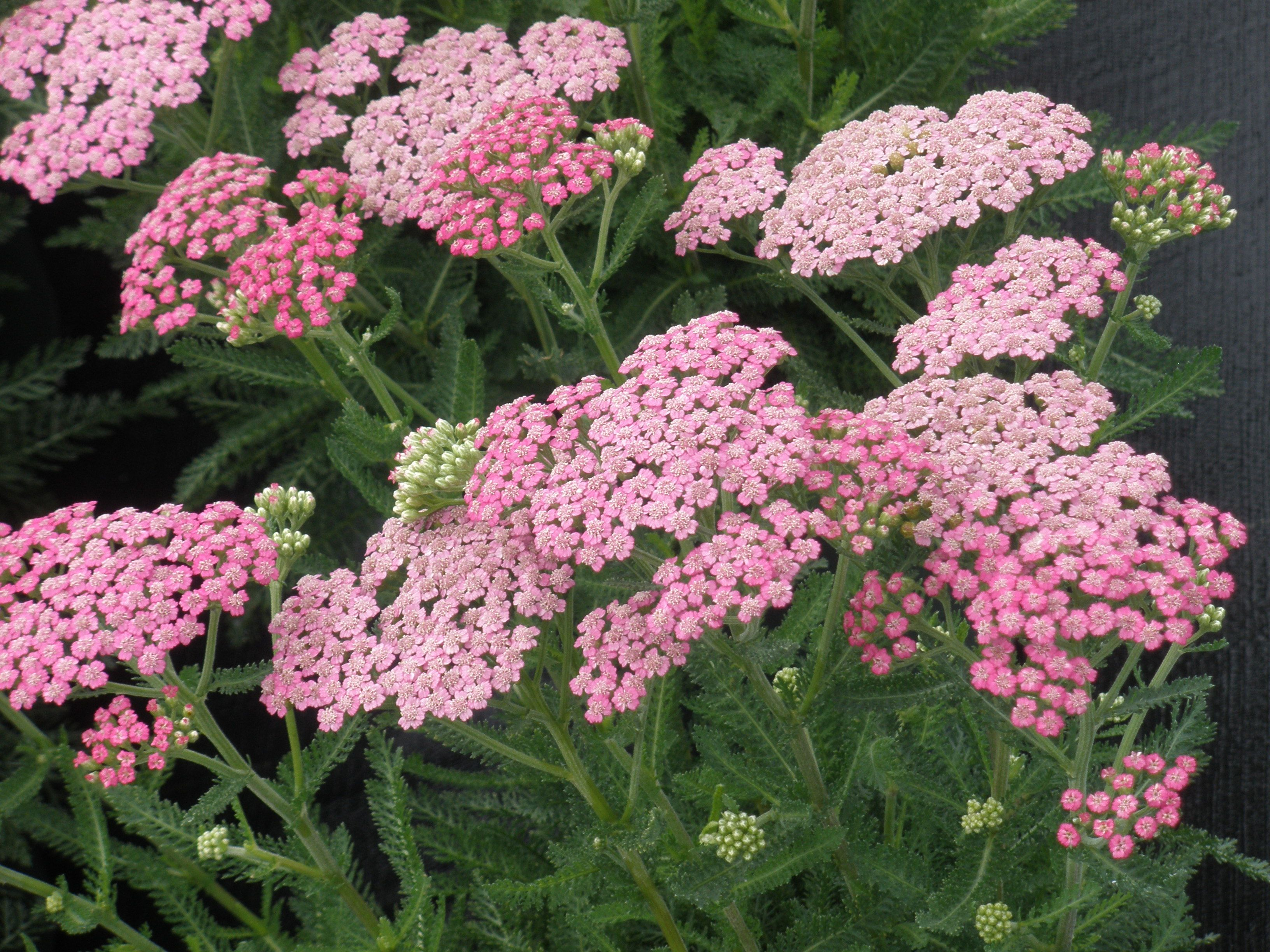 Homestead Growers Blog Achillea Yarrow Plant Pink Yarrow