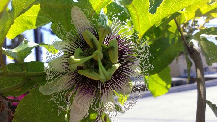 Passion Flower Blooming On My Patio Too Bad They Only Last One Day Passion Flower Flowers Science Nature