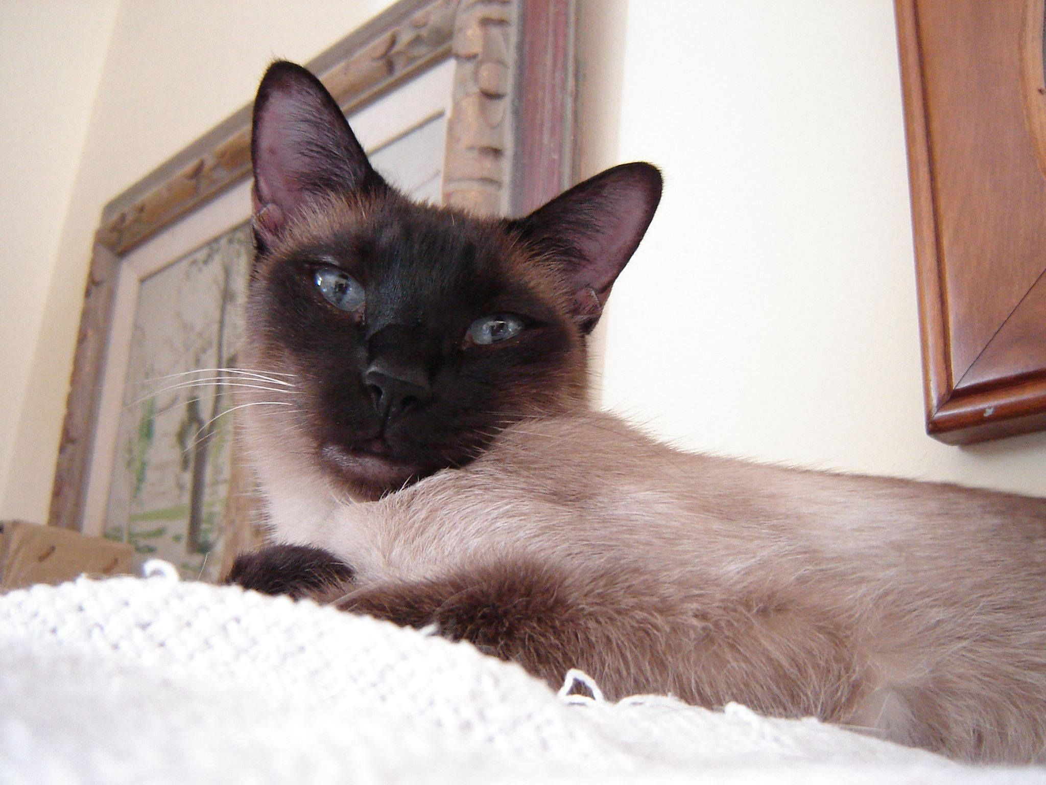 Siamese Orientals Cats Lilac Point Seal Tabby Silver Siamese Seal