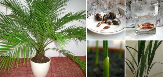 comment faire pousser un palmier dattier à partir de graines