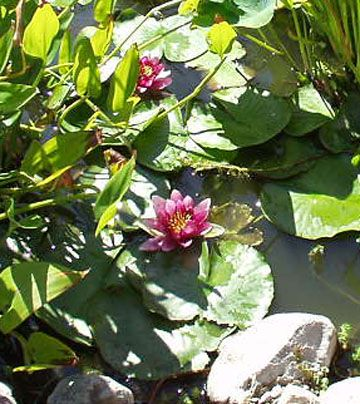 Rosy red waterlily blooms add a colorful sparkle to the pone