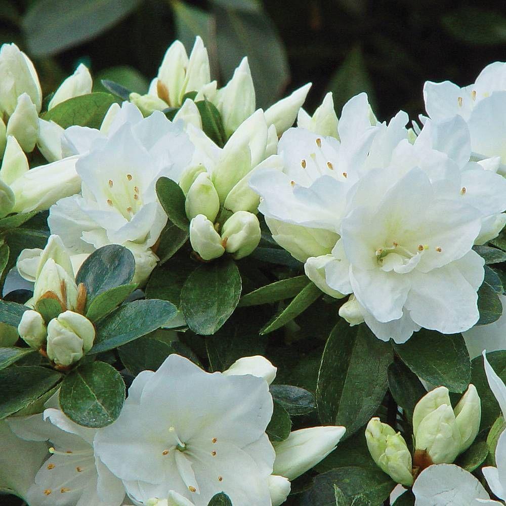 Azalea Dwarf Whiterhododendron In 2018 Samantha Garden