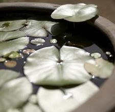 growing lily pads indoors