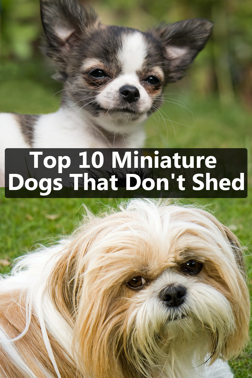 10 Best Small Dog Breeds That Don T Shed Dog Breeds That Dont Shed Dog Breeds Miniature Dogs