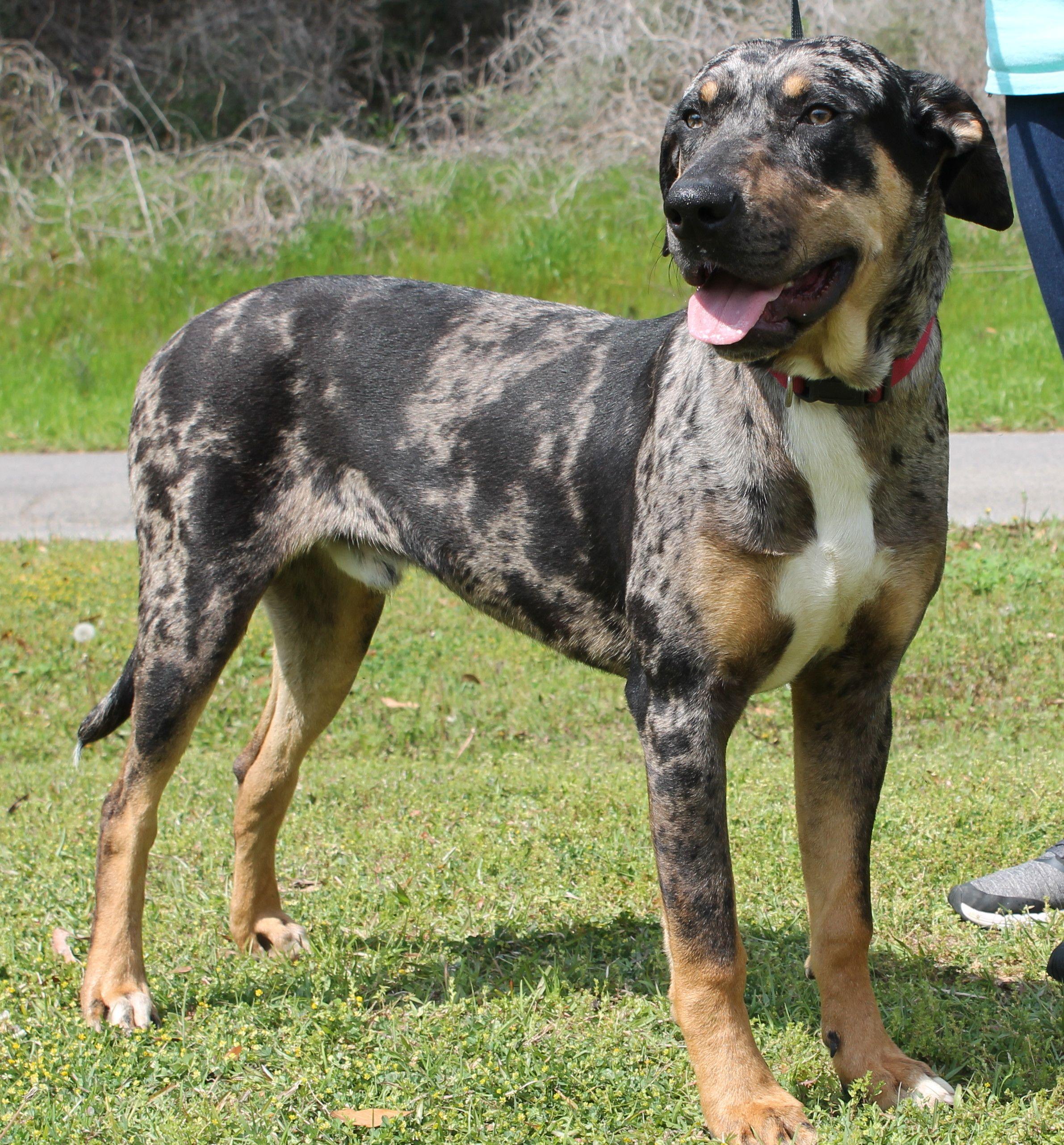 Catahoula Leopard Dog Dog For Adoption In Prattville Al Adn