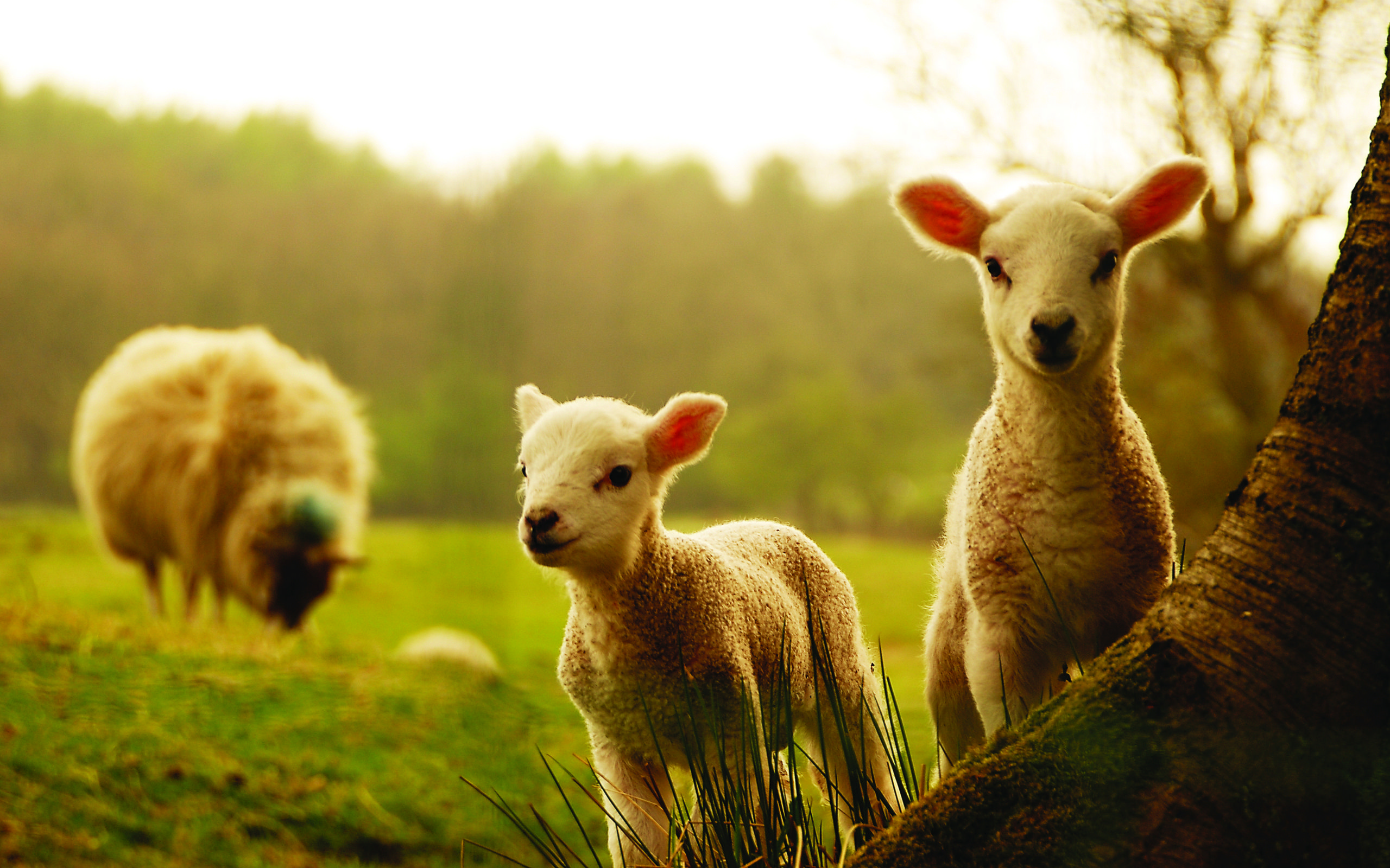 Sheep 9 Animals Minimalistic Wallpapers For Iphone: Pin By Rebecca Carvalho On Ideas To Paint