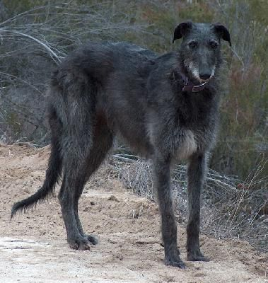 I M Glad My Scottish Deerhound Isn T This Tall Scottish