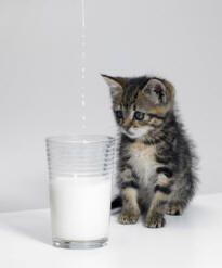Cat Milk Can Cats Drink Milk Com Imagens