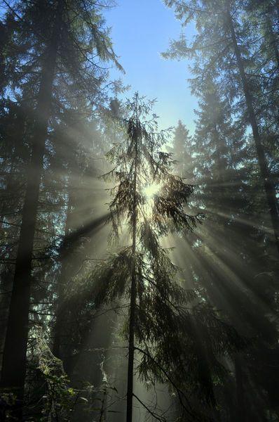 'Die Schönheit der Nebelwälder zeigt eine Fichte ( Tanne ) im Licht der Sonne' by bernd  hiep on artflakes.com as poster or art print $16.63