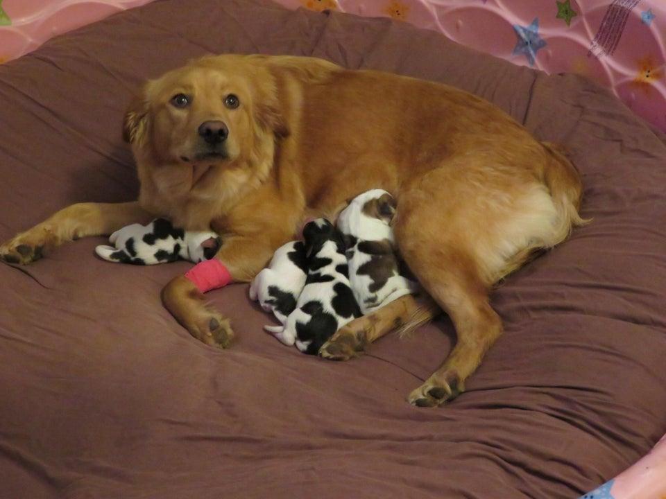 Golden Retriever Puppy Retriever Puppy Baby Dogs Cute Puppies