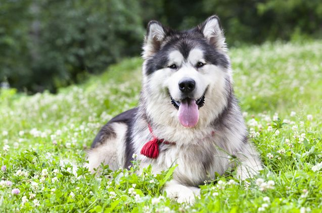 Alaskan Malamute Alaskan Malamute American Indian Dog Malamute