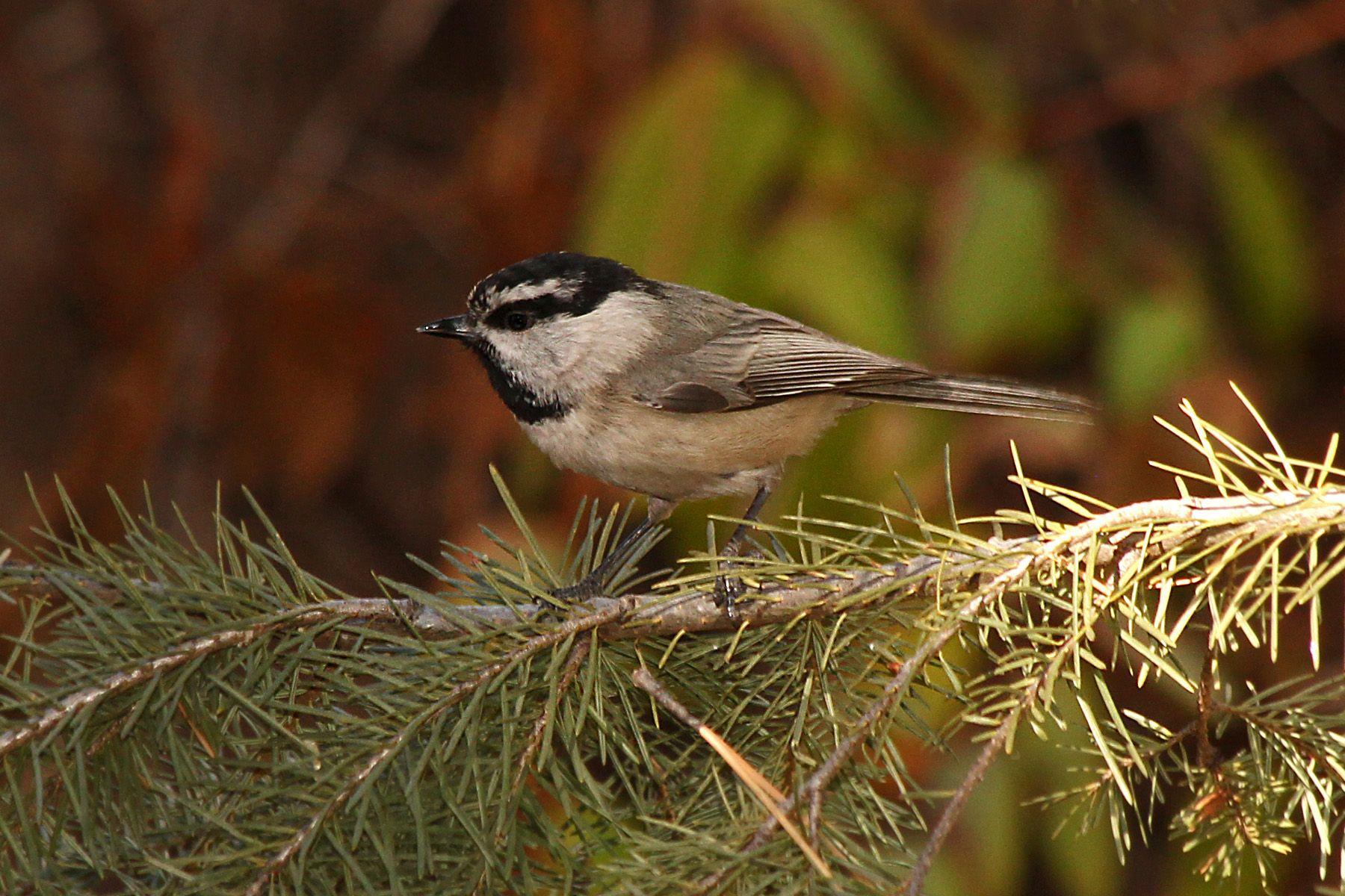GBBC | Great Backyard Bird Count | Great backyard bird ...