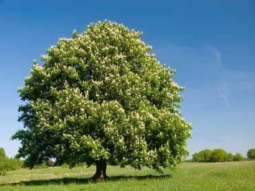 ohio buckeye | Trees | Buckeye tree, Ohio trees, Chestnut horse