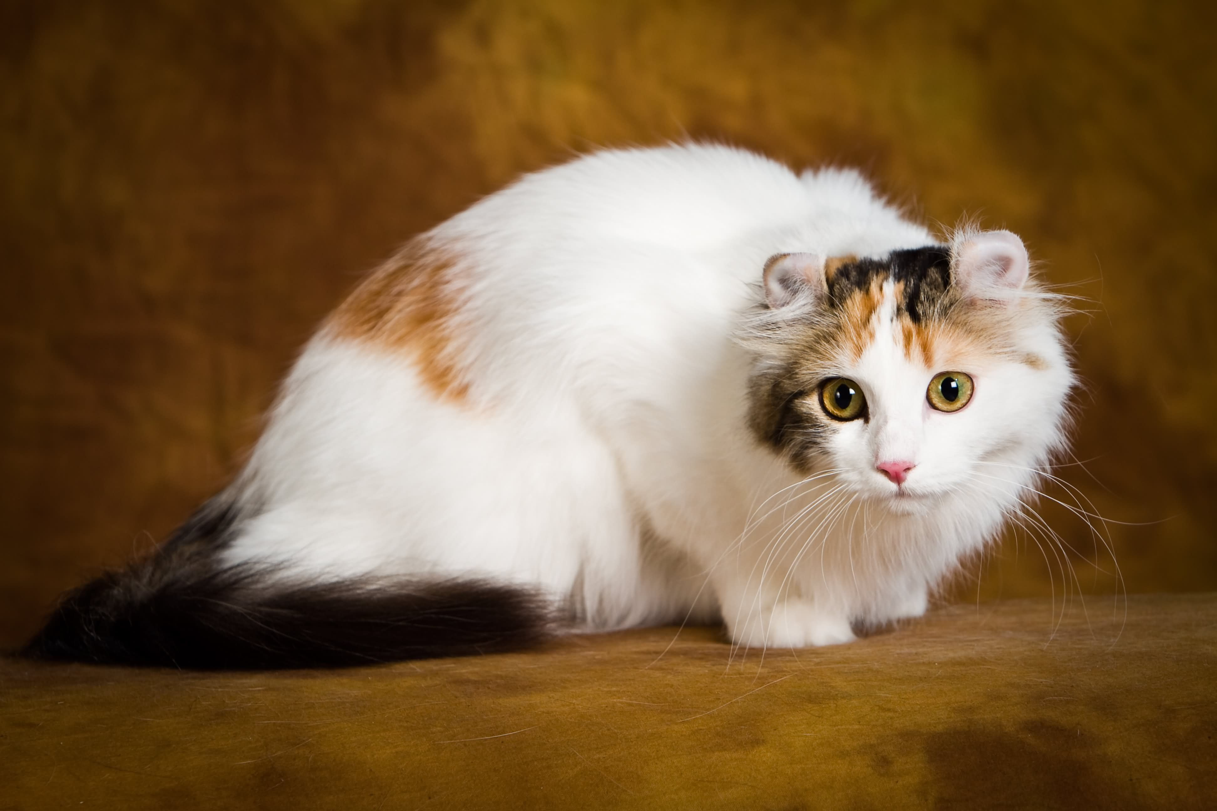 20 Most Affectionate Cat Breeds in The World