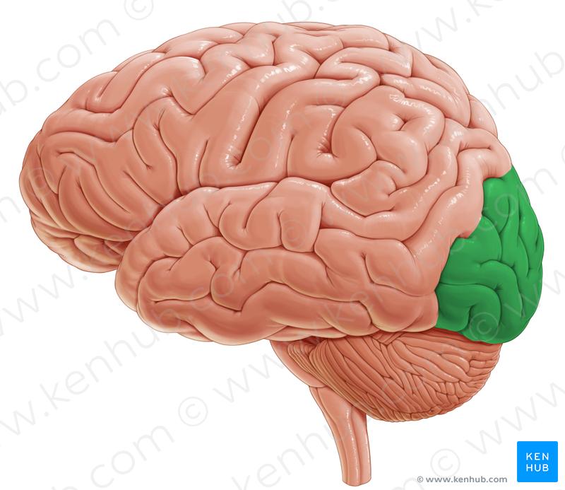 Occipital lobe (затылочная доля)   Brain.Lateral view   Pinterest ...
