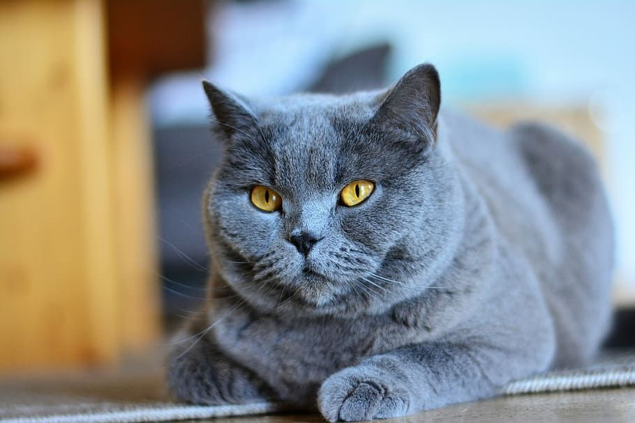 Pin Di Russian Blue