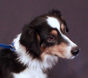 Adopt A Puppy Mill Survivor Australian Shepherd Dog Puppy Mills