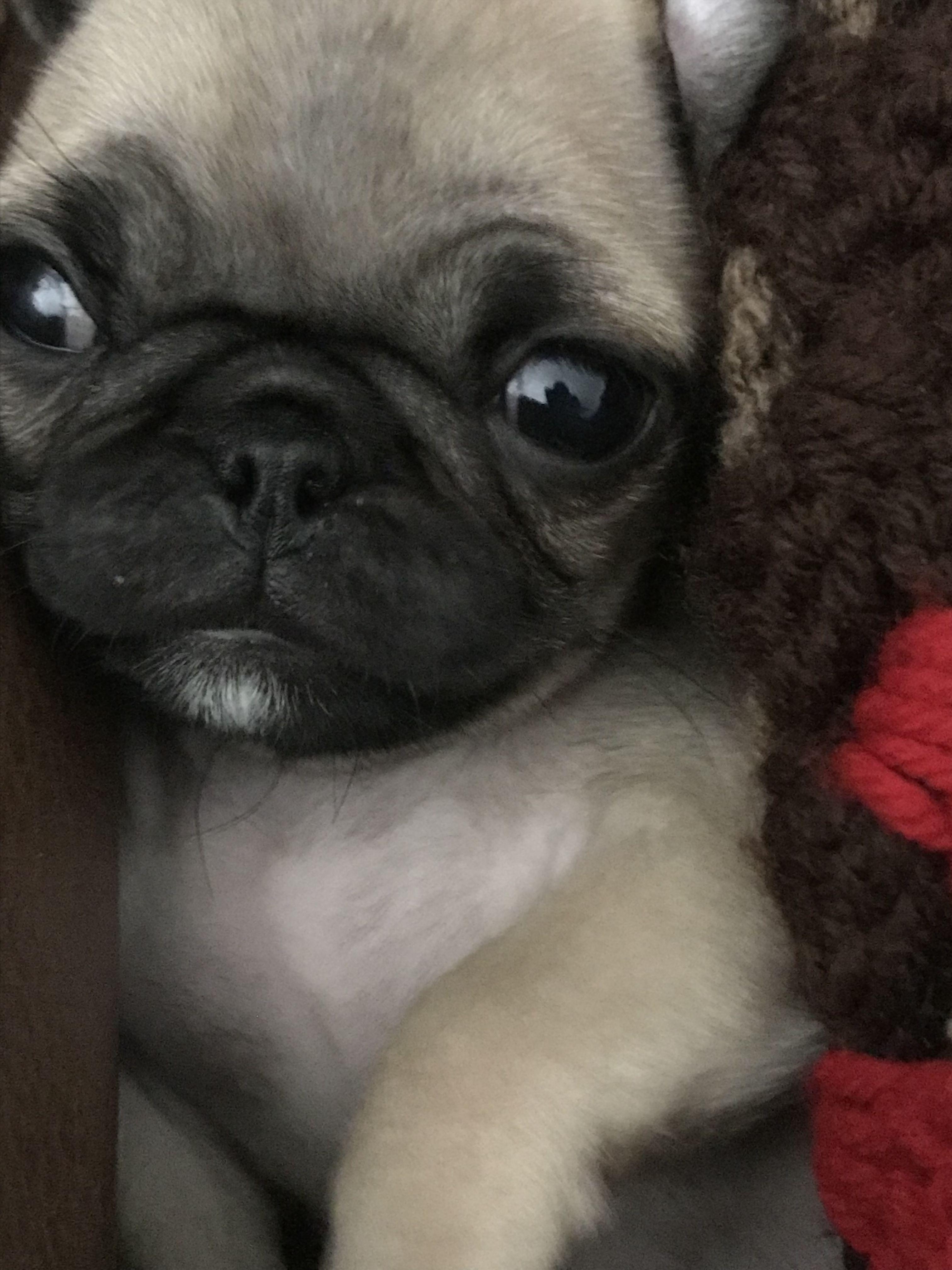 Pin By Gravenbabies On Pug Cute Pugs Crazy Dog Lady Cute Animals