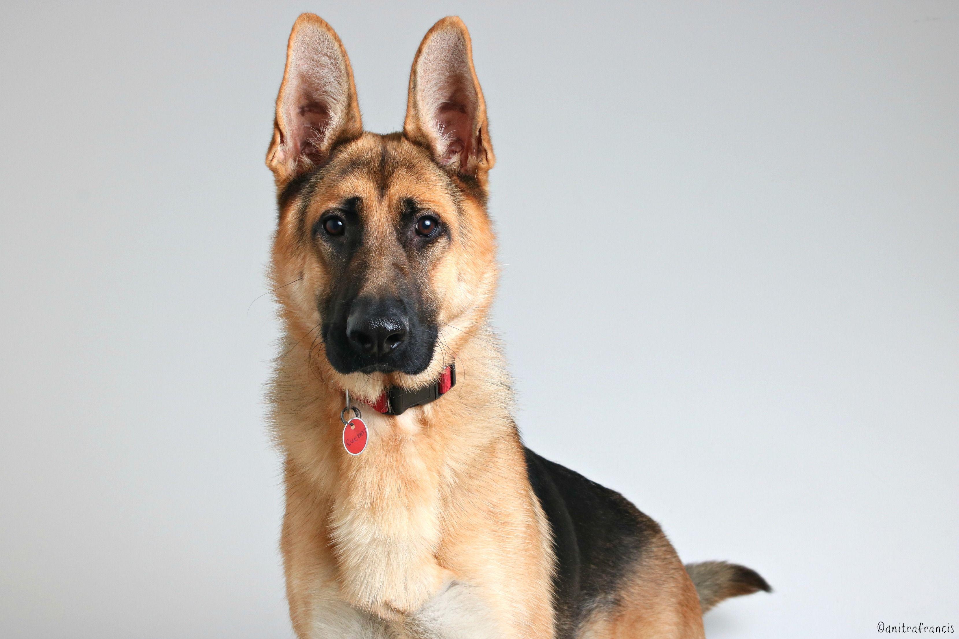 German Shepherd Dog dog for Adoption in Eden Prairie, MN