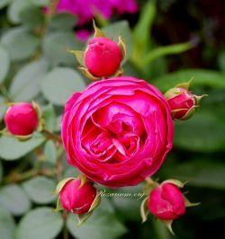 Roza Pomponella Flowers Rose Plants