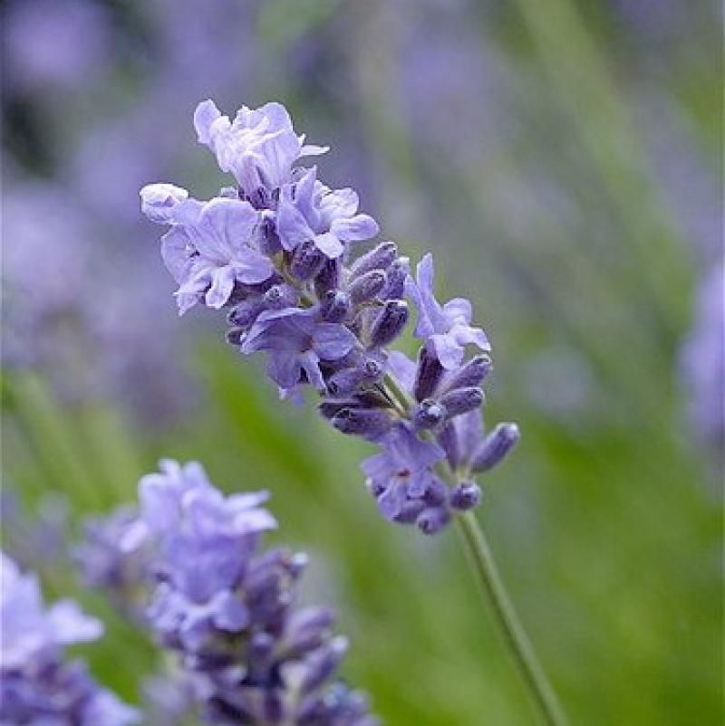 Foto: Lavendel 'Munstead'