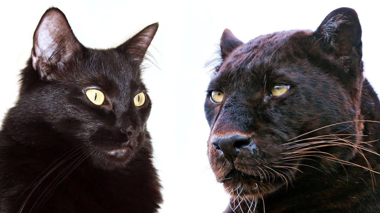 10 Ways Domestic Cats and Big Cats Are Similar YouTube
