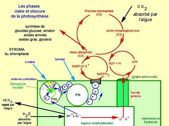 schéma récapitulatif de la photosynthèse