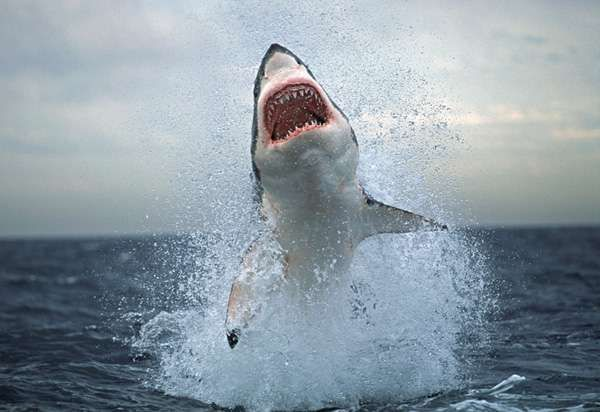 Shark Attacks In The Potomac In Shark Animal And Wildlife - Man fights great white shark sydney harbour jumping cliff