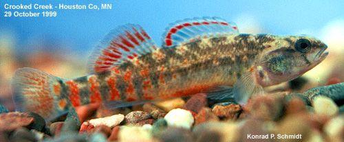 Fishes of Minnesota - mud darter (Etheostoma asprigene