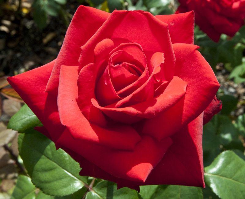 Kordes Roses Grande Amore Kordes Rose A Grande Amore