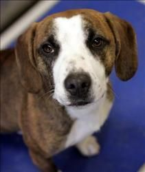 Brantley is an adoptable Boxer Dog in Lexington, KY. Hi, my names Brantley! Im most likely a Boxer/Hound mix thats around 10 months old (as of 2/15/13) and I weigh about 30 pounds or so. Im a very...