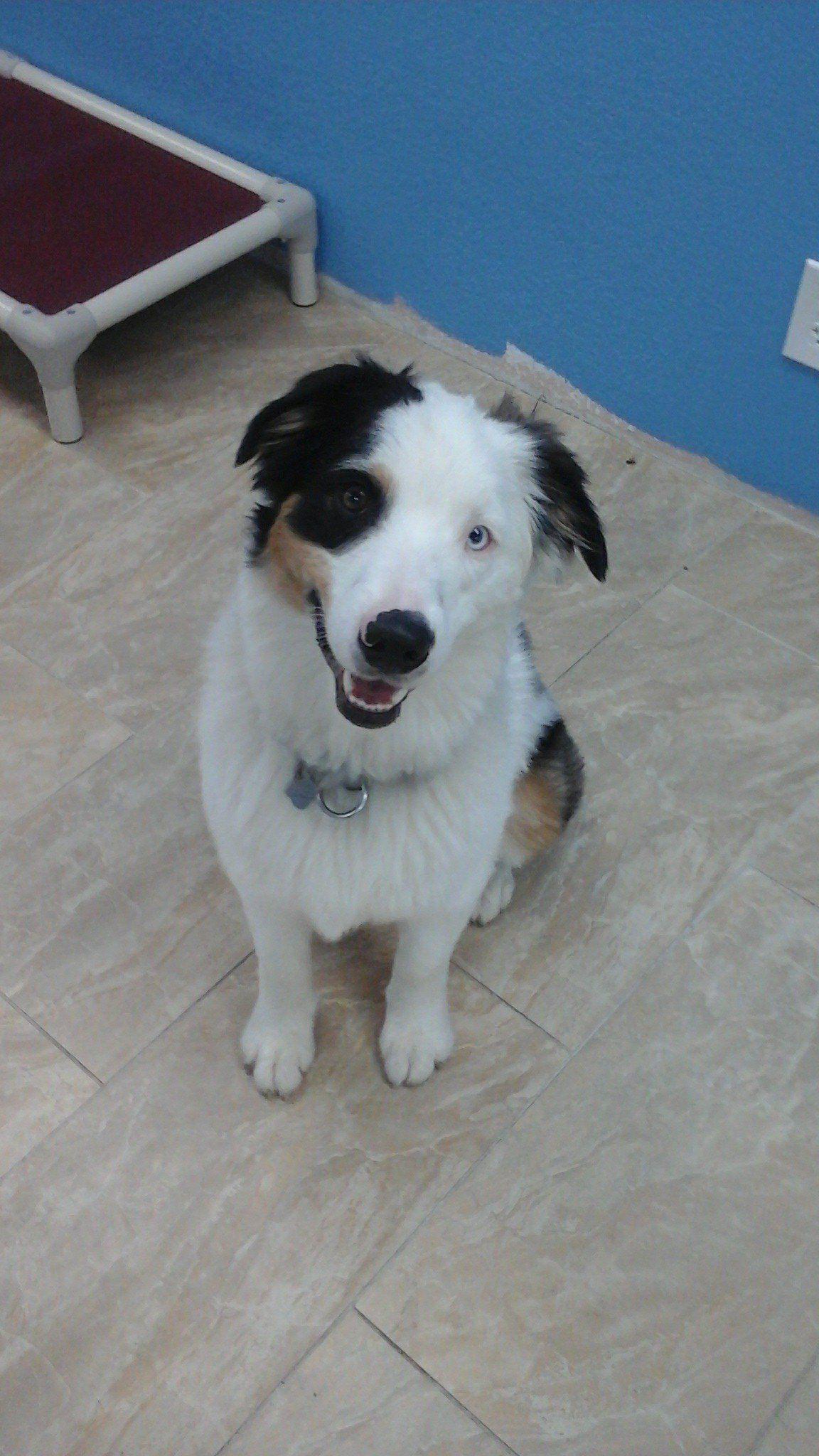 Oliver! An Australian Shepherd at Barks & Recreation