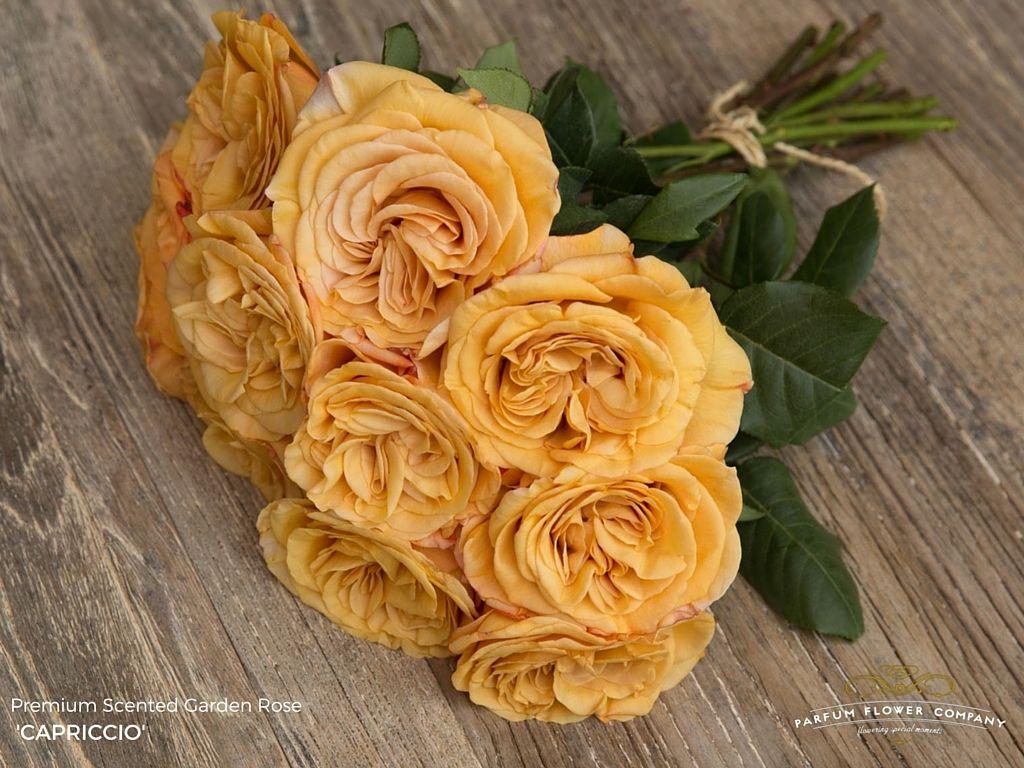 Capriccio rose Rose, Floral, Plants