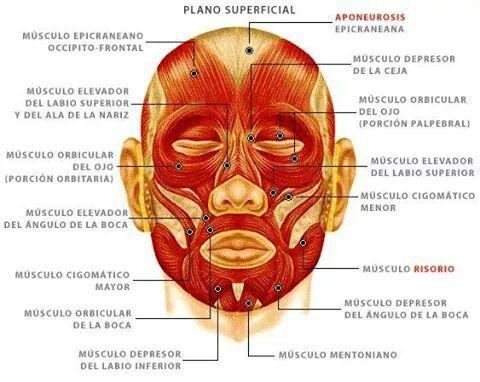 Sabes Cuantos Músculos Tenemos En La Cara Fisioterapia Y