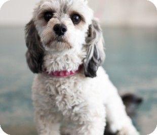 Adopt Me Pets Pet Adoption Poodle