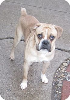 Cleveland, OH English Bulldog/Pug Mix. Meet a