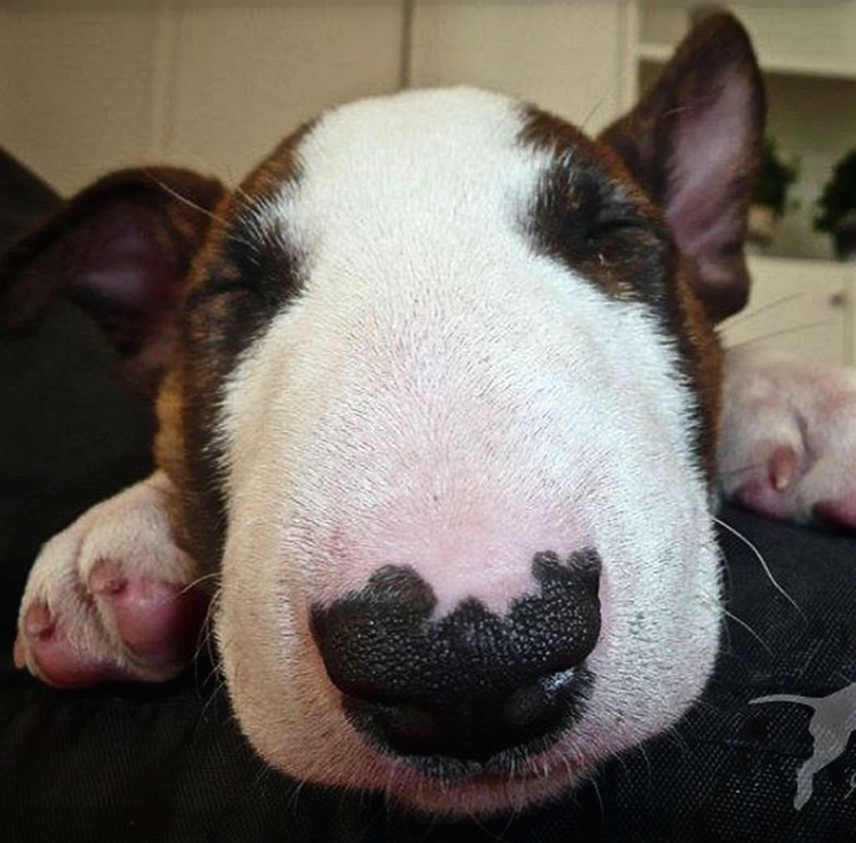 Baby Bull Terrier | bully | Pinterest | Perros lindos, El perro y Mi ...