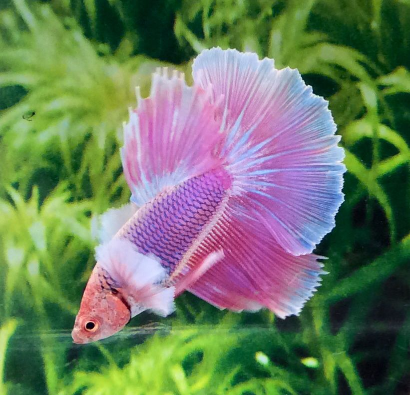 Pink halfmoon betta betta fish tank pinterest betta for Halfmoon betta fish