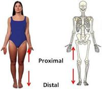 Proximal and Distal- structures found near the trunk would be ...