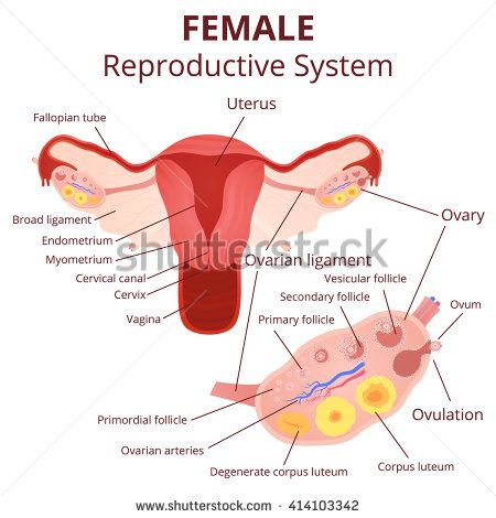 Female reproductive system the uterus and ovaries scheme the phase female reproductive system the uterus and ovaries scheme the phase of the menstrual cycle stock vector ccuart Images