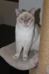 Adopt Dutchess On Petfinder Siamese Cats Cats Adoption