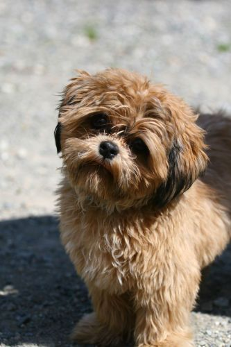 Chewie Is An Adoptable Poodle Shih Tzu Dog In Surrey Bc Help Us