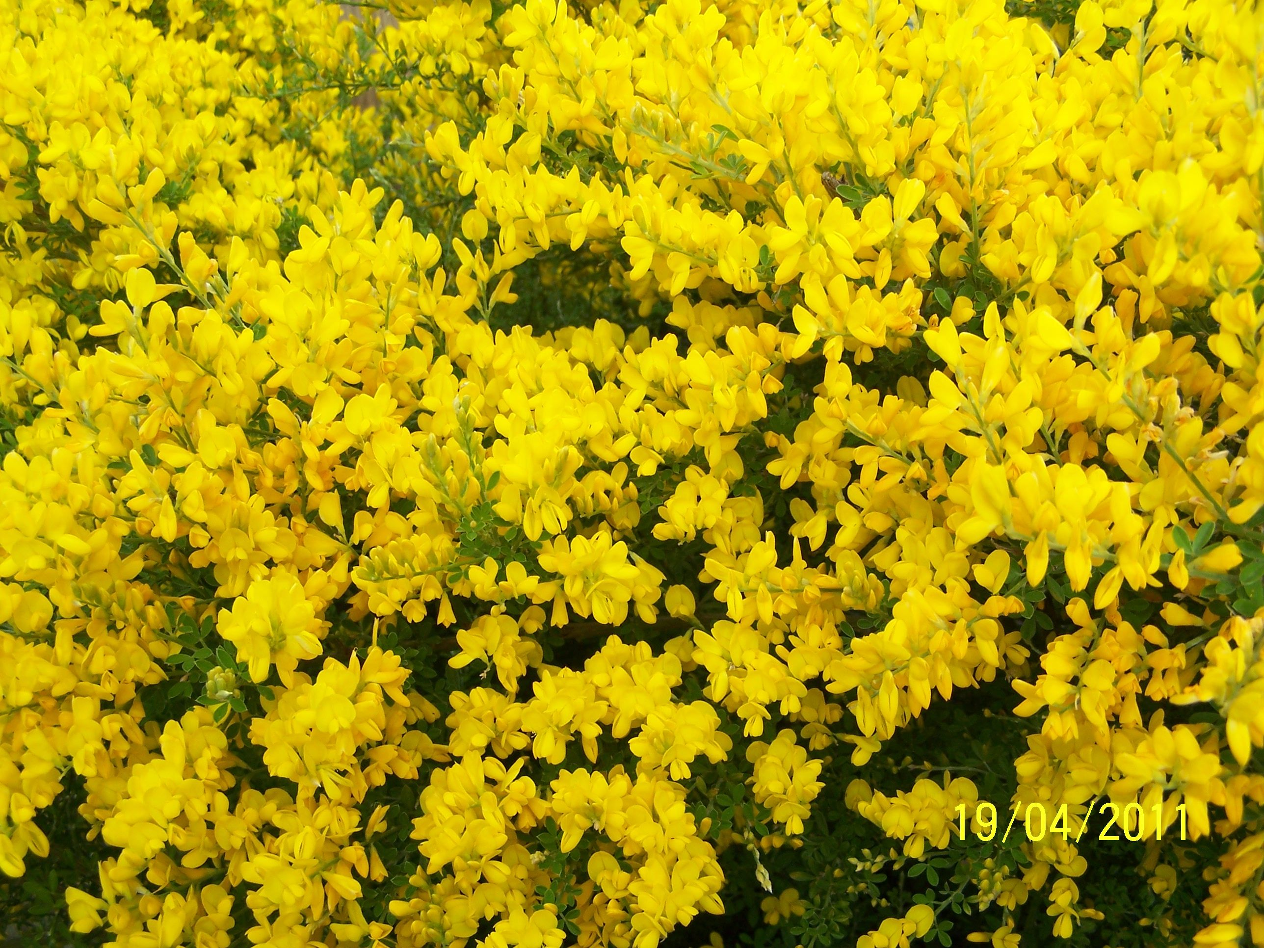 Sweet Broom Plant From My Yard Broom Plant Sweet Broom Plants